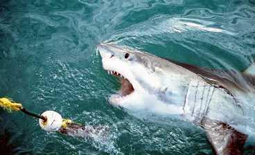 """Hajen. Med halvöppen mun, fladdrande tandkött och sylvassa tänder närmar sig den stora vithajen - redo för lite mört fyrtioårigt kött"""""""
