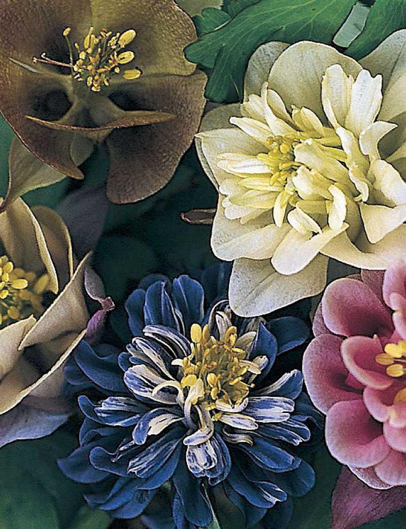 'Sweet rainbows', Aquilegia hybrida. Vilken läcker blandning av fyllda och enkla aklejor i en alldeles utsökt färgskala. ett måste för den romantiska rabatten. (www.froer.nu)