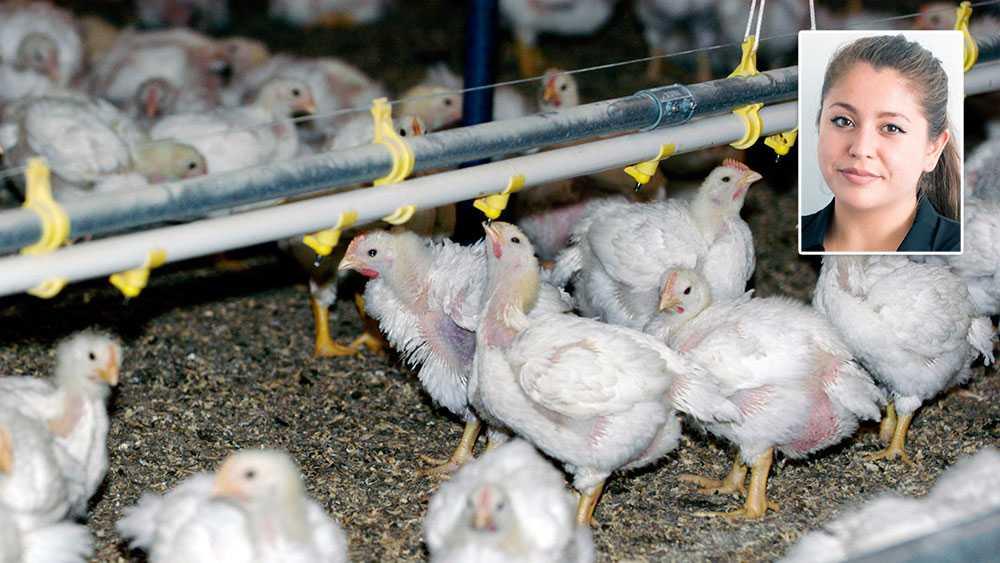 Genom att kycklingar bor trångt, är avlade att växa snabbt samt genererar mycket kött av lite foder hålls kostnaderna nere för kycklingproduktionen, skriver Francesca Vilches, Djurens Rätt.