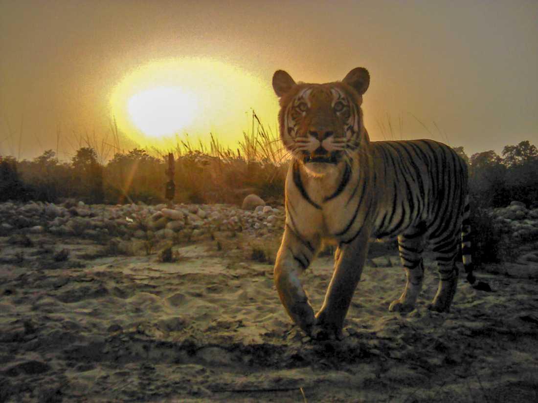 TIger fotograferad i kamerafälla i nationalparken Banke i Nepal.