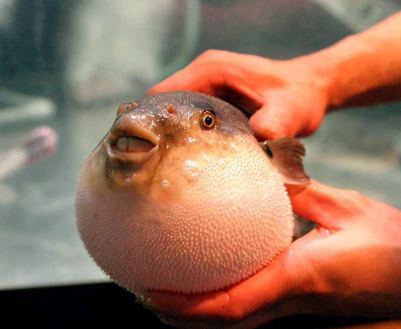 Japansk blåsfisk.