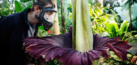 PÅ EGEN RISK  Aftonbladets arbetsmiljöombud krävde gasmask på det här uppdraget. Men inte ens det hjälper mot den fruktansvärda likstanken från jätteknölkallans blomma.
