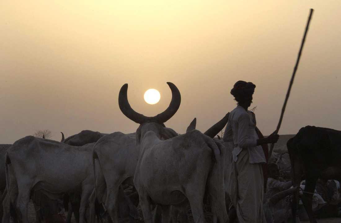 En herde med boskap i Gujarat, granndelstat till Rajastan. Arkivbild.