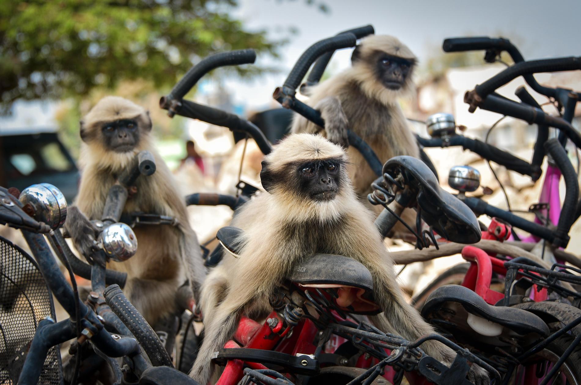 """Bilden """"The race"""" är tagen i Hampi, Indien, och föreställer stencoola langurer."""