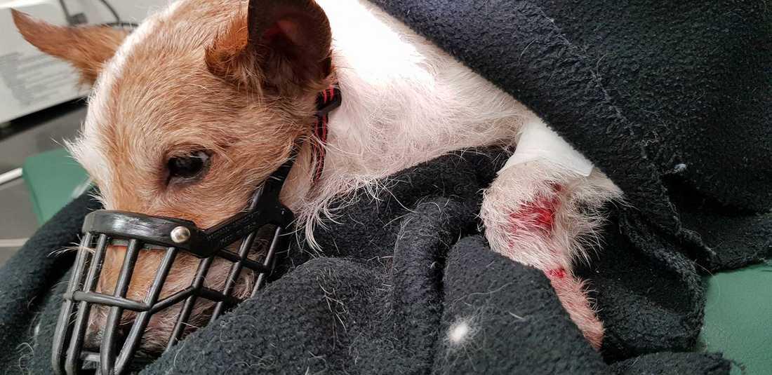 Sigge lyckades smita från sin matte och hamnade på en trafikerad väg – där han blev påkörd av en smitare.