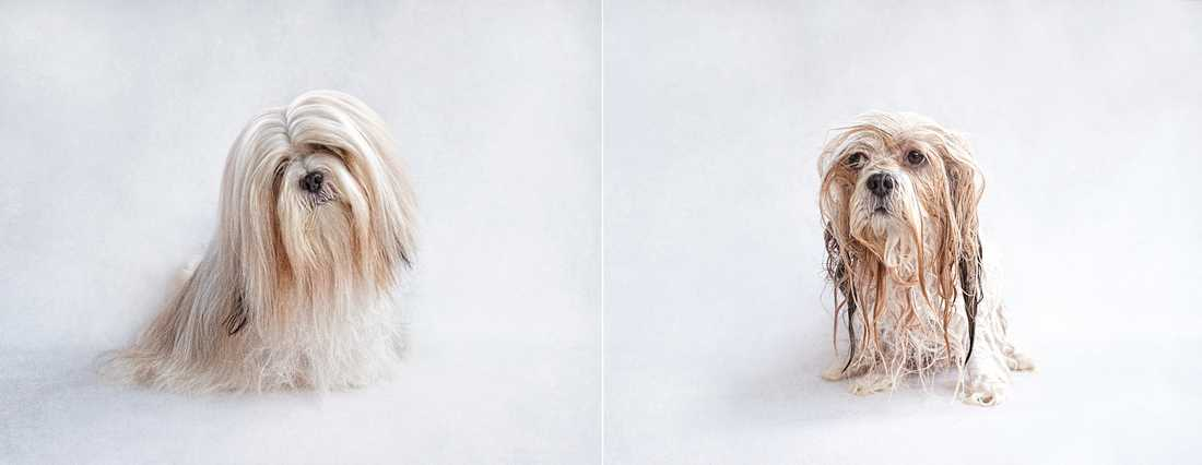 Harry – Lhasa Apso