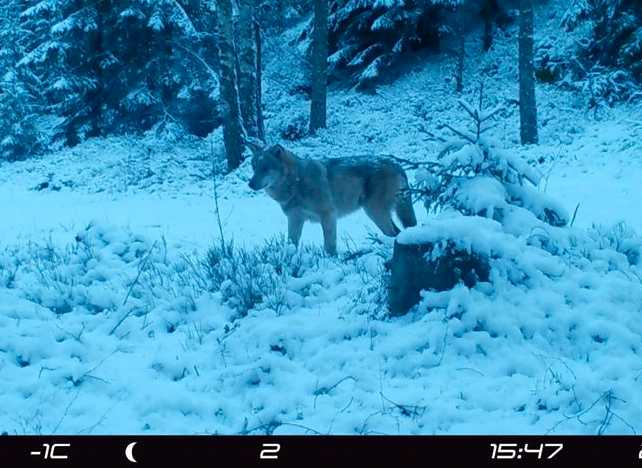 Skånsk varg fotograferad med viltkamera.