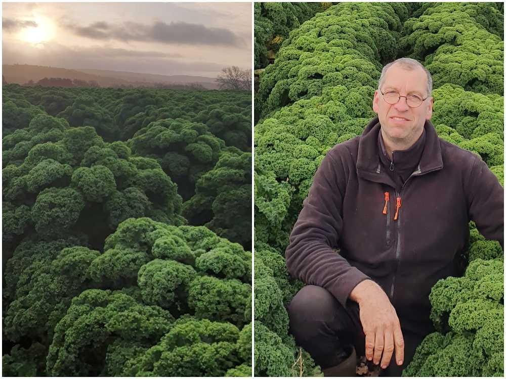 Mikael Jidenholm odlar hundratals ton grönkål.