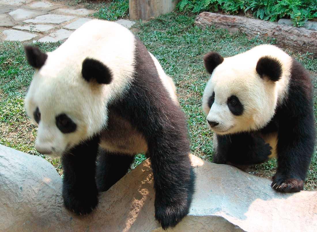Chuang Chuang, till vänster, dog i måndags. Hans död har fått kinesiska pandaälskare att ana oråd. Arkivbild.