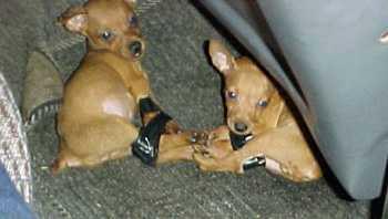 Tullverket kan förlora rätten att hålla kvar hundsmugglare.