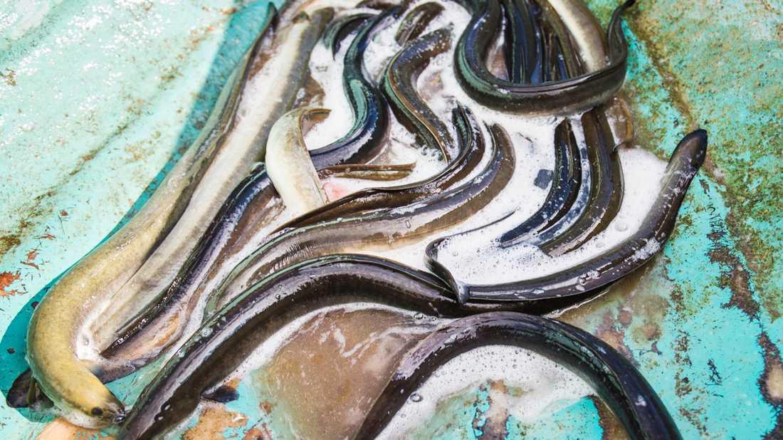 Stress och värme dödade sannolikt ålar (inte de på bilden) i Ringhals kärnkraft i september. Arkivbild.
