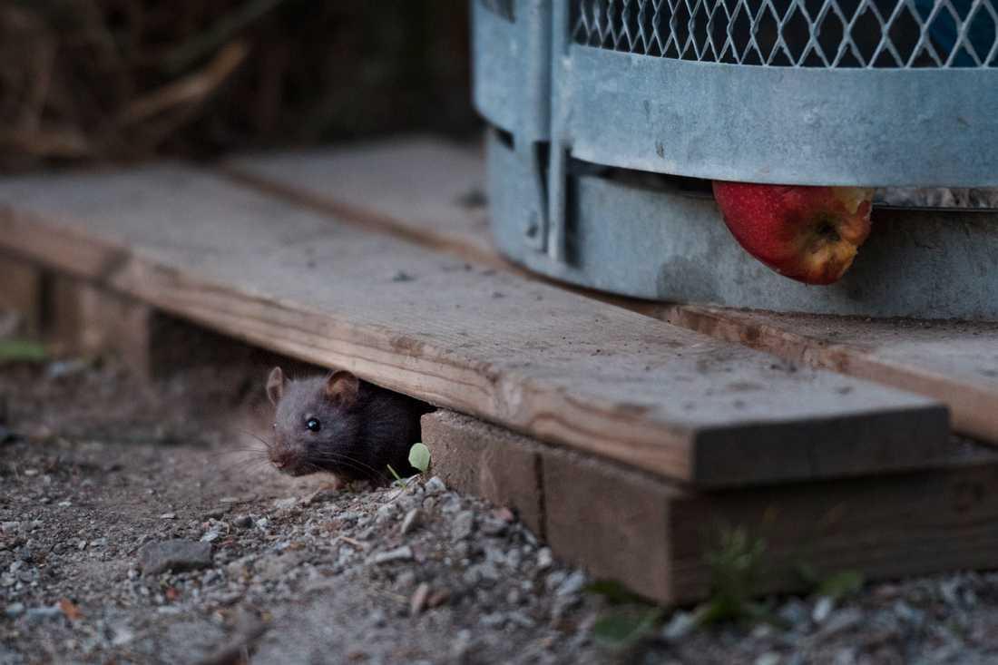 Tittut! Råttor kan leka precis som människor. Arkivbild.