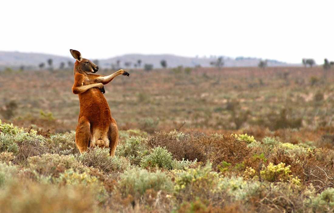 KUNGGURU FU Fotografen Andrej Giljov fångade den här kängurun under morgongymnastiken i Fowlers pass, Australien.
