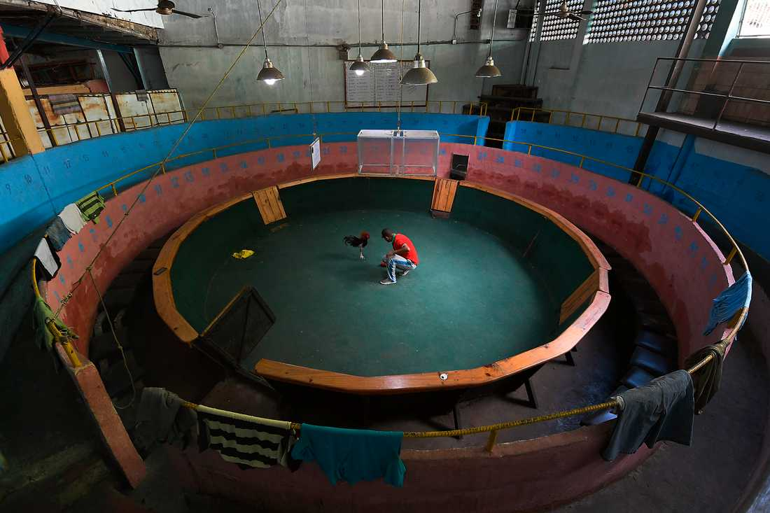 Tuppfäktning är tillåtet på statligt övervakade klubbar enligt Kubas nya djurskyddslag. På bilden syns en tuppfäktningsarena på Venezuela. Arkivbild.