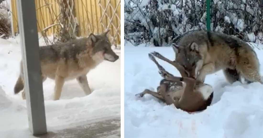 """""""En overklig känsla"""", säger Tobias Ågren som filmade vargen inifrån sitt vardagsrum."""