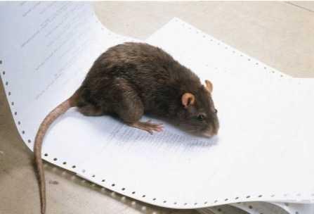 Råttor. Håller till i avloppssystemet och tar sig fram via gångar.