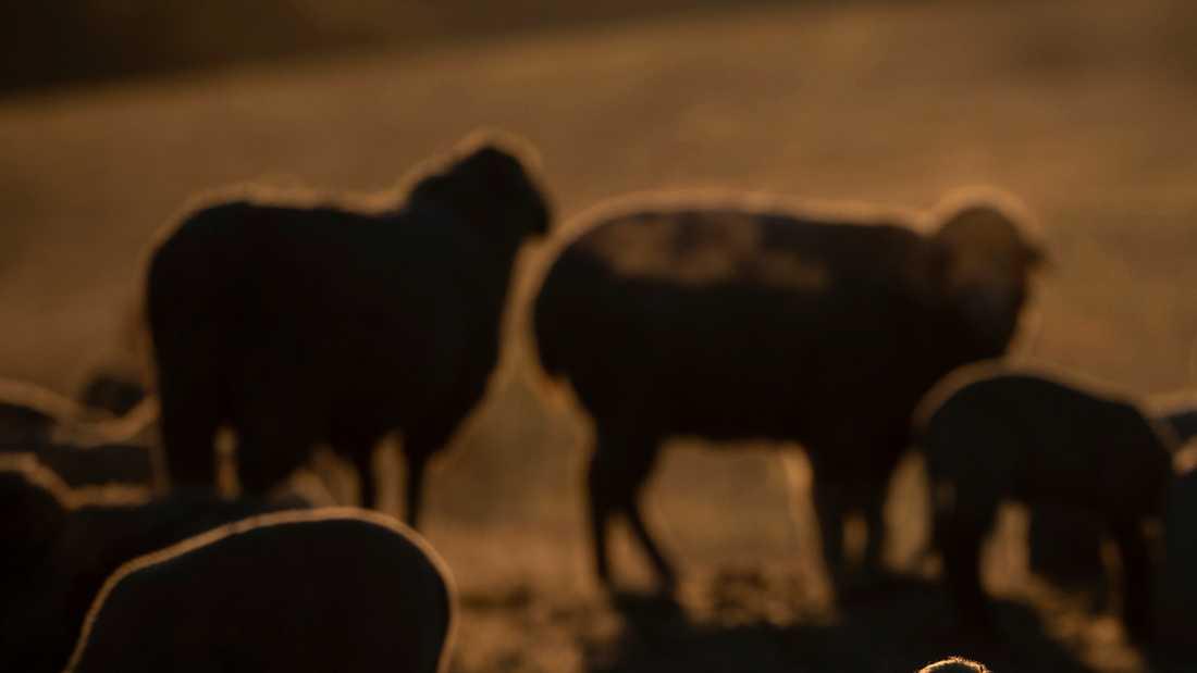 En person tros ha blivit bestulen på sina lamm. Arkivbild.