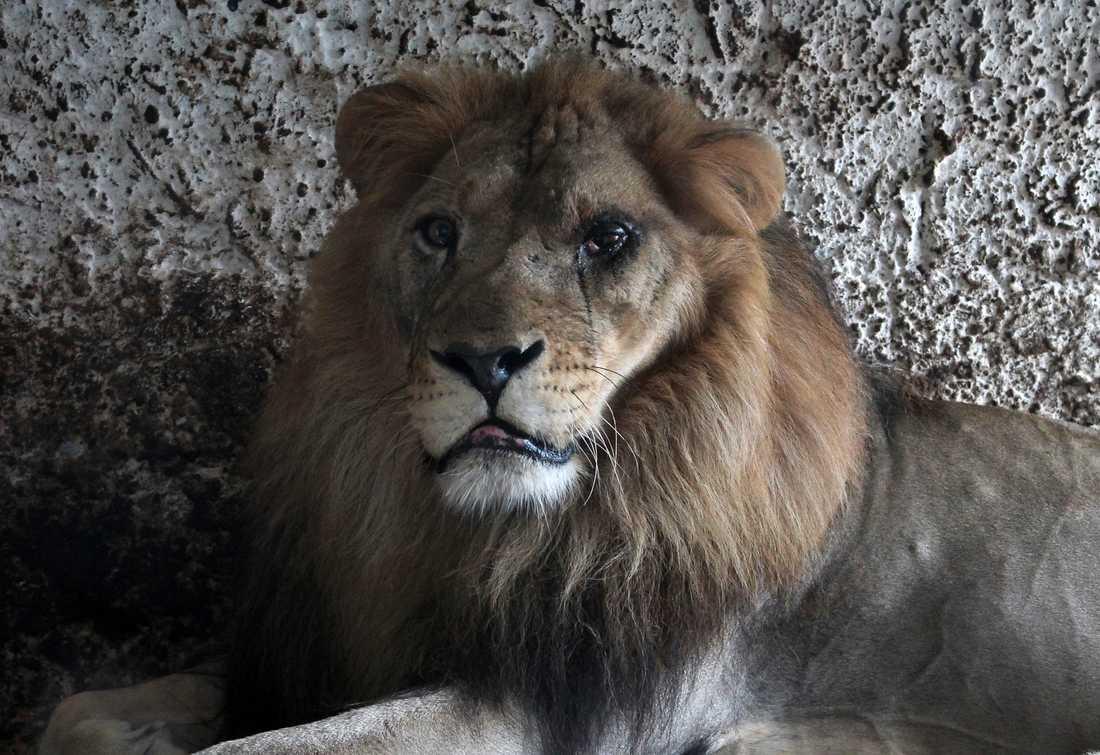 Ett av lejonen hade en allvarlig ögoninfektion.