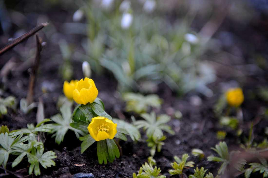 Vintergäcken brukar inte slå upp sina kronblad förrän i slutet av februari. Arkivbild.