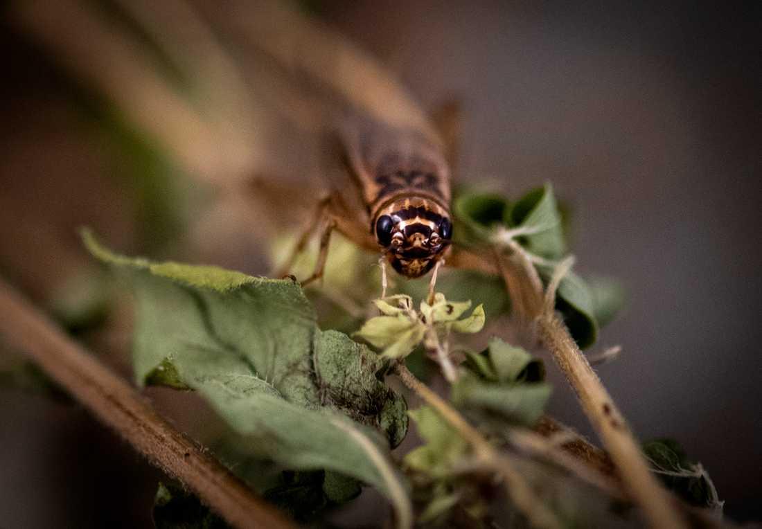 I många länder används insekter i traditionell matlagning. Nu tillåts försäljning av vissa insekter, bland annat syrsor, i Sverige.