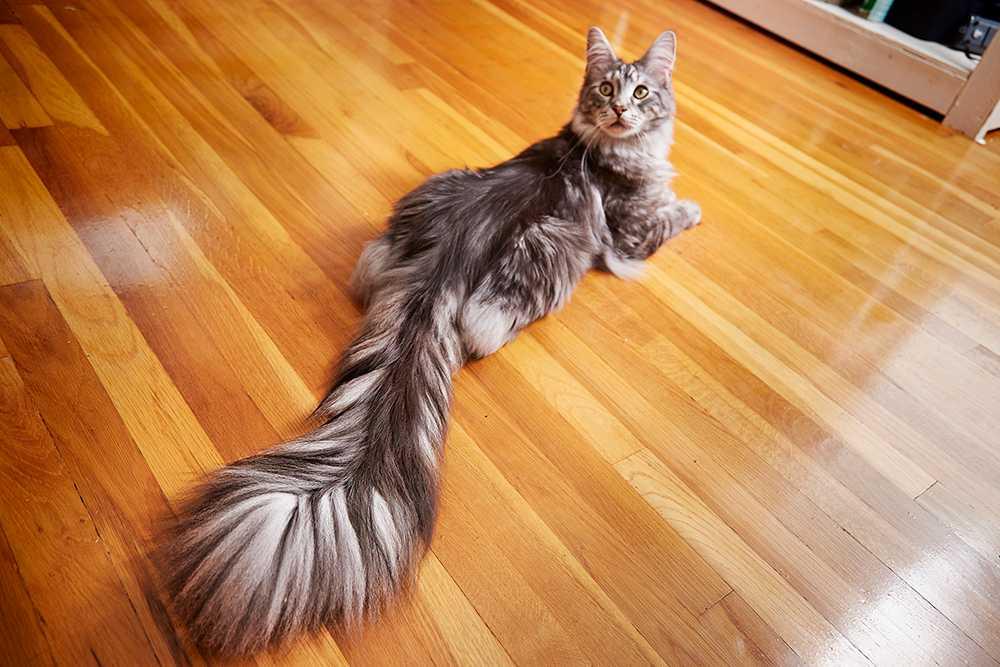 Main Coon-katten Cygnus har världens längsta svans.