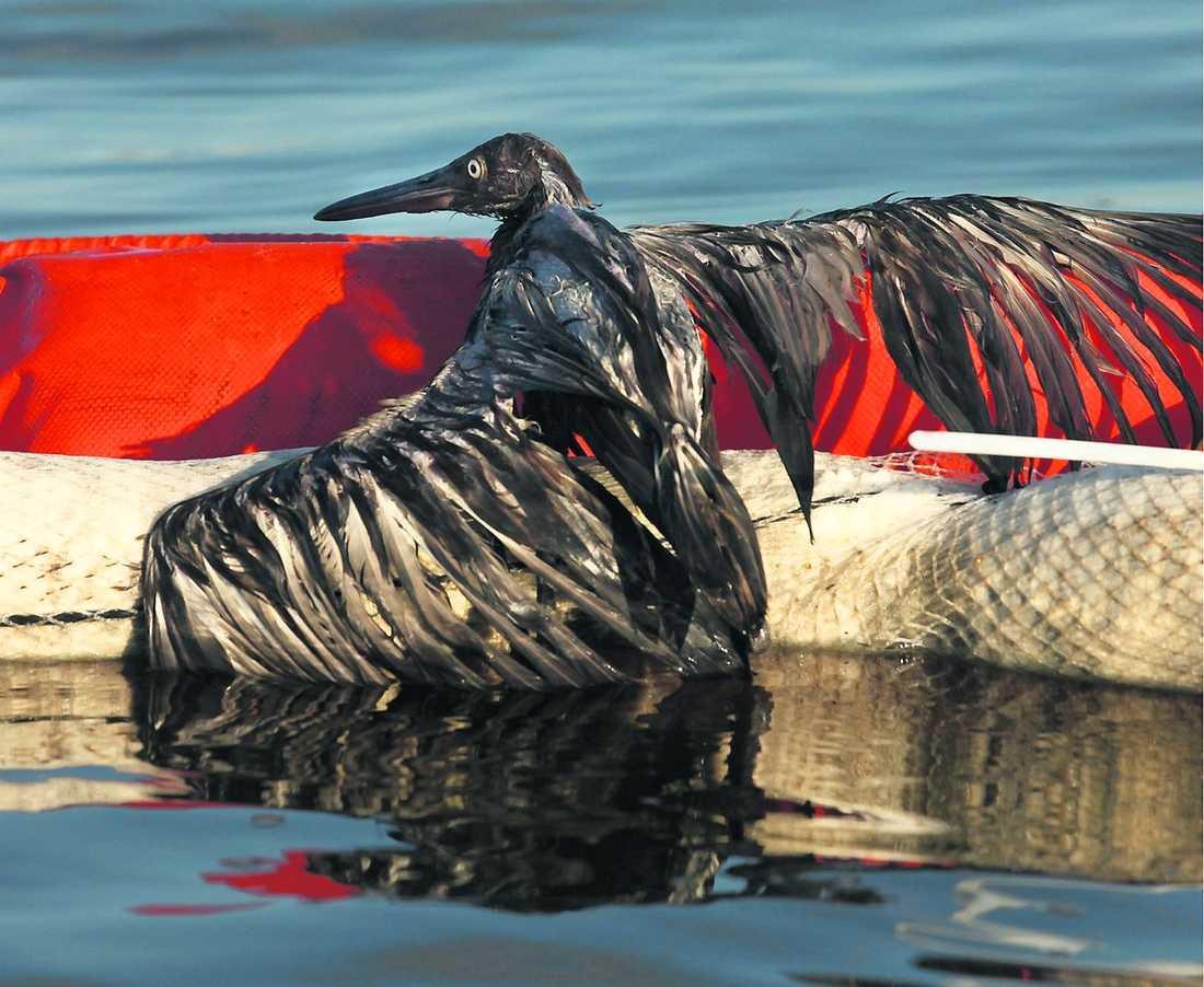 Många djur har dött av den läckande oljan.