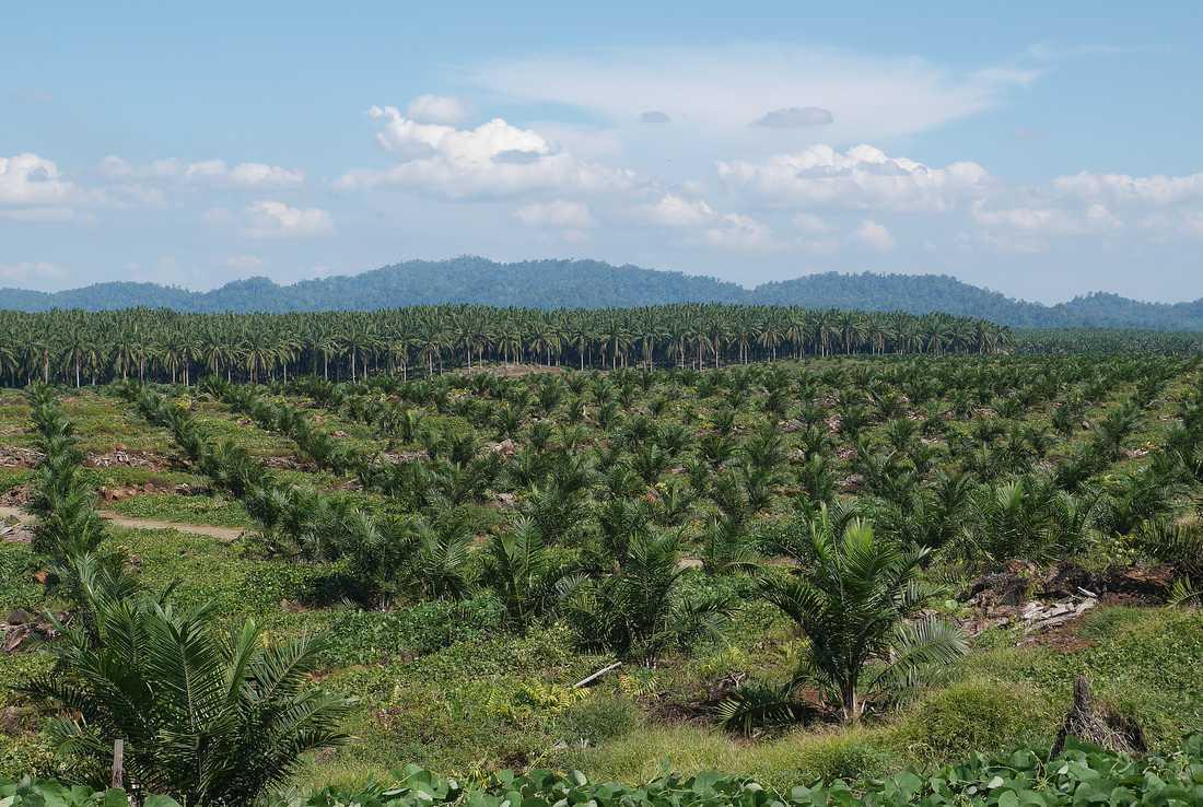 Så här ser det ut över stora delar av Borneo idag. Den ursprungliga regnskogen har huggits ned och ersatts av odlingar med oljepalmer. Palmerna i förgrunden är nyplanterade.