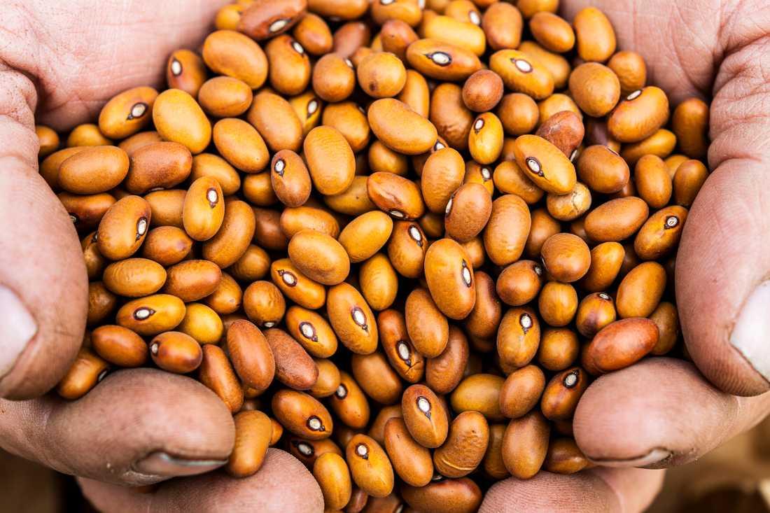Bonden Göran Wilén från Bjärby på sydvästra Öland odlar bland annat bönor till en växande marknad. Särskilt ökar efterfrågan på vegetariskt protein, vilket glädjer landets bönodlare. Arkivbild.