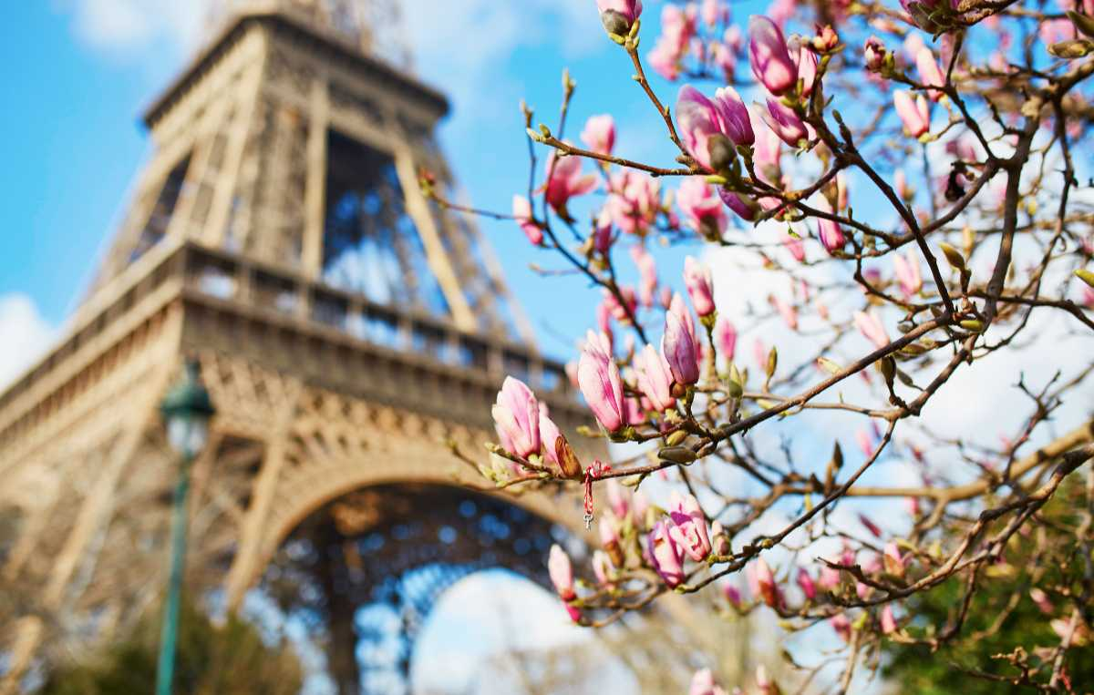 Blommande magnolia i Paris.