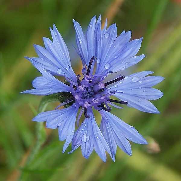 Landskapsväxt är blåklint.