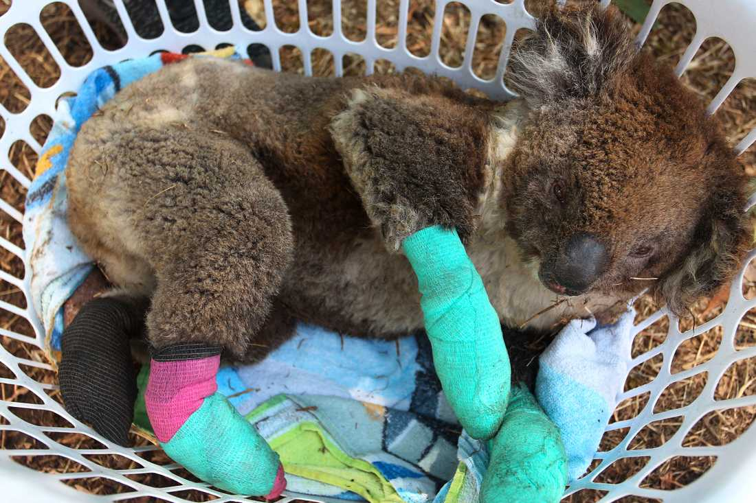 Ni med blommigt sexliv – vad har ni gjort för de svedda koalorna?