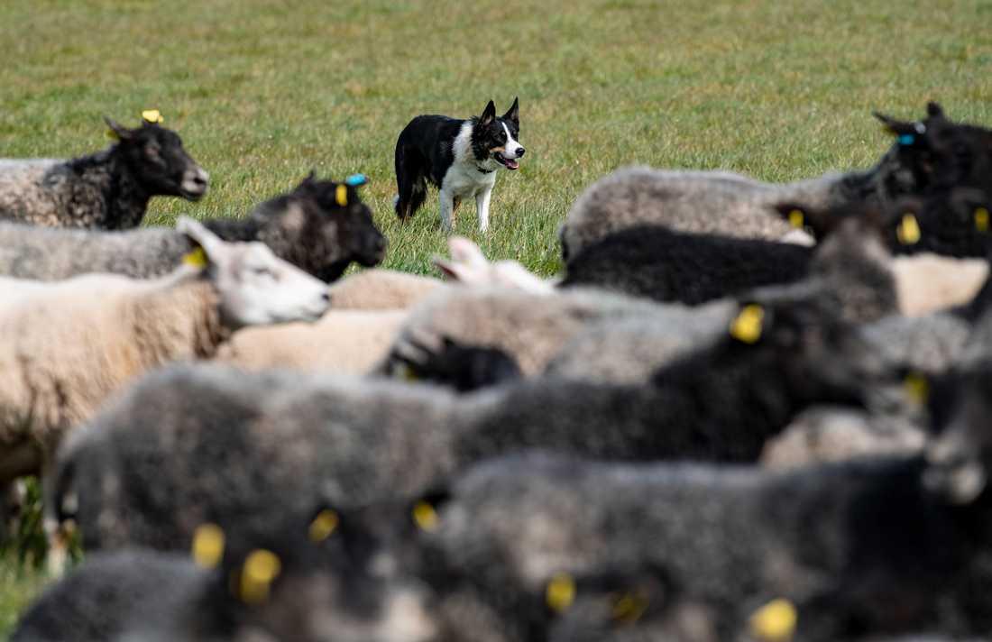 Vallhunden Spike håller koll på lamm och får i hagen.
