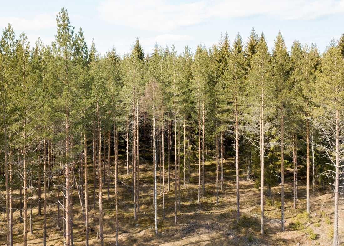 I Småland utvecklar uppåt var tionde tallplanta flera stammar i stället för en, vilket förbryllar forskare. Arkivbild.