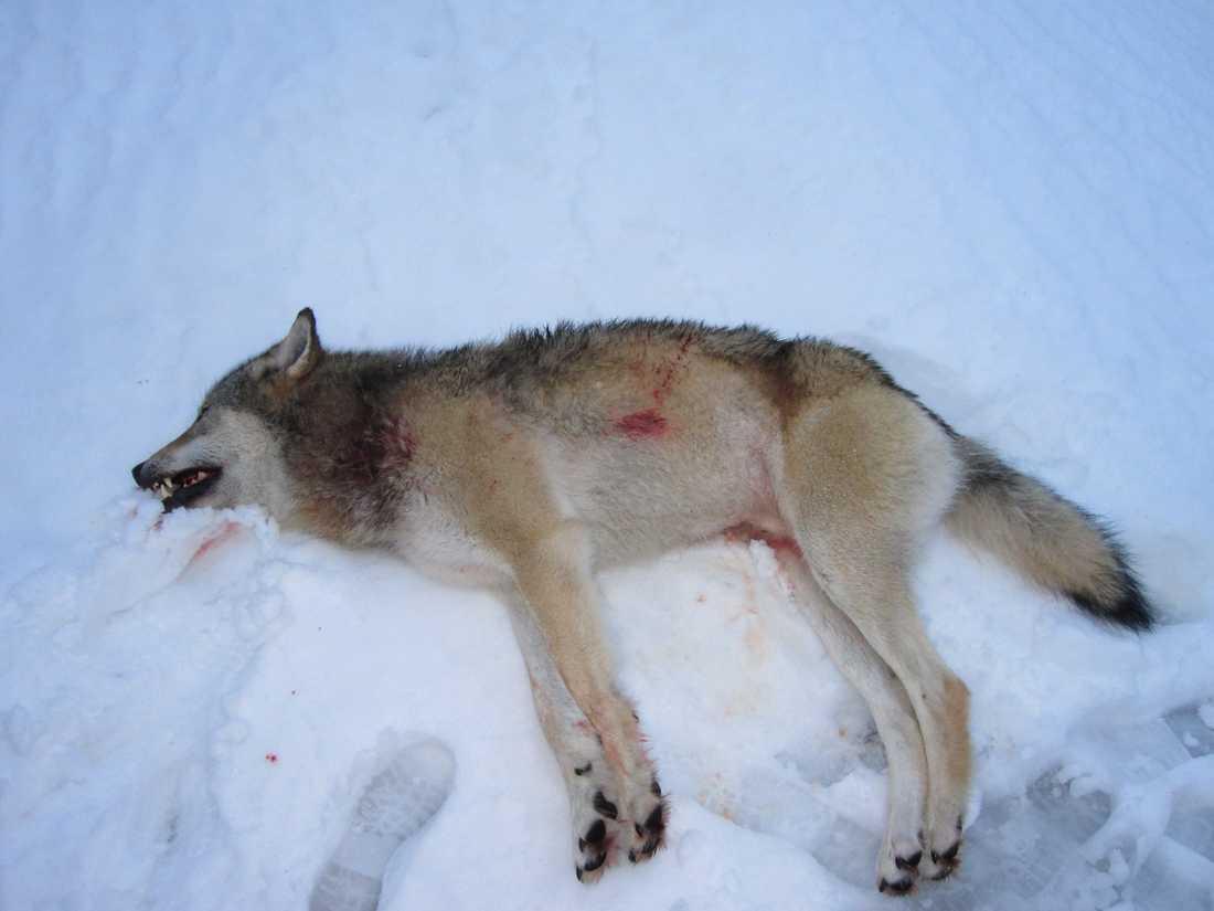 En hane på 49,5 kilo var den första varg som sköts i Västra Götaland i helgen.