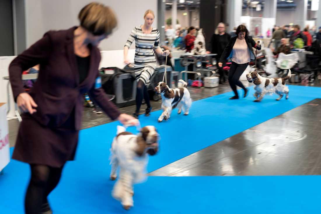 Svenska kennelklubben har beslutar att hundar som kommer från Norge inte får delta på utställning, prov eller tävlingar i Sverige. Beslutet gäller fram till och med denna helg. Arkivbild.