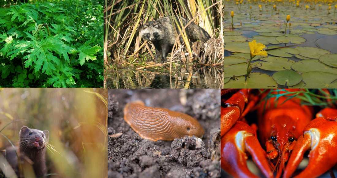 Några av de invasiva arter som betraktas som hot mot den biologiska mångfalden: Jätteloka, mårdhund, sjögull, mink, mördarsnigel och signalkräfta. Arkivbild.