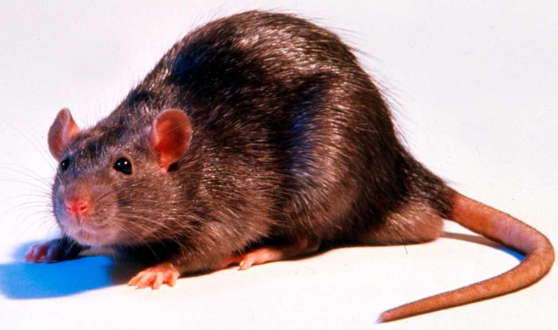 Klicka på råttan - om du vill se den i större format.