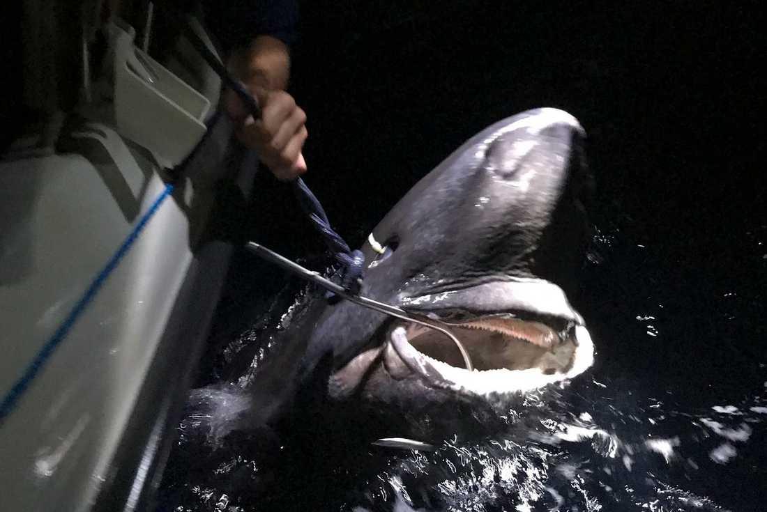 Håkäringen som fångades av fritidsfiskaren Mattias Jonsson var 335 cm lång och 150 cm i omkrets.
