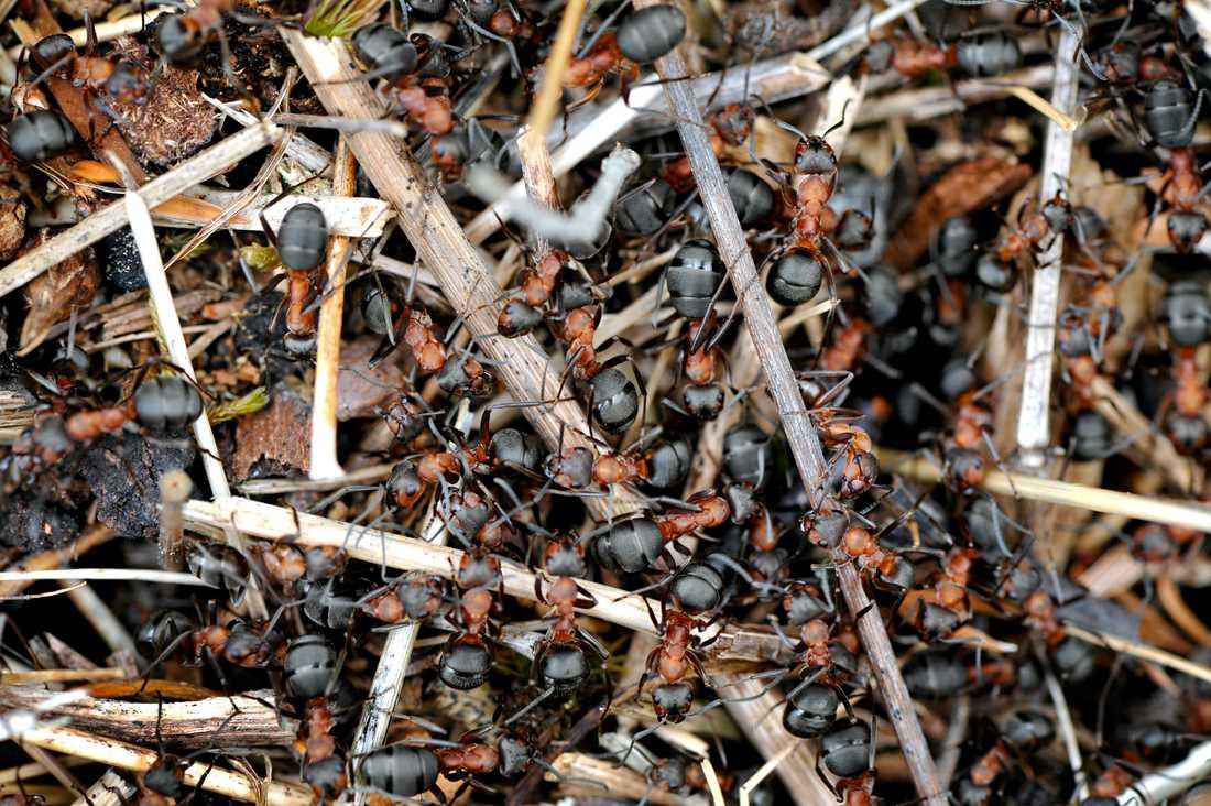 Det är inte ovanligt att myror tar sig in i människors hus i jakt på mat tidigt på våren. Men på grund av den milda vintern har Anticimex fått in de första fallen rekordtidigt. Arkivbild.
