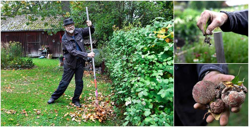 Ta hand om löven, rensa ogräs och plocka bort rutten frukt.