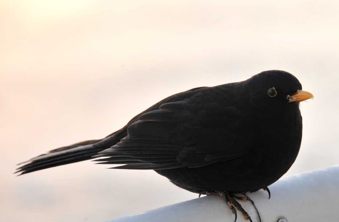 Koltrasten, Sveriges nationalfågel. Arkivbild