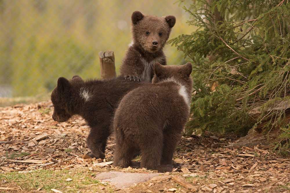De tre små söta björnungarna föddes på julafton 2017.