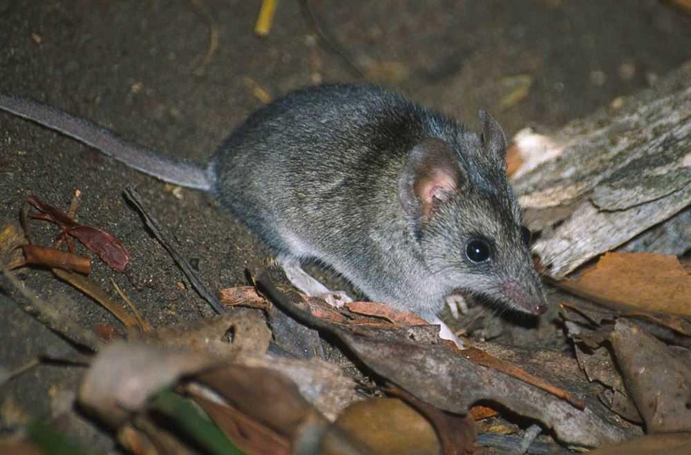 Rovpungmusen Kangaroo Island dunnart är unika för Kangaroo Island. Det fanns bara 300 exemplar i det vilda innan bränderna bröt ut.