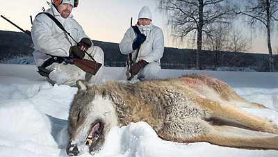 Första offret Här är det djur som sköts först i vargjakten på nyårsdagen. Nu rasar opinionen mot miljöminister Andreas Carlgren som så gärna tycks vilja vara älskad som naturens försvarare.