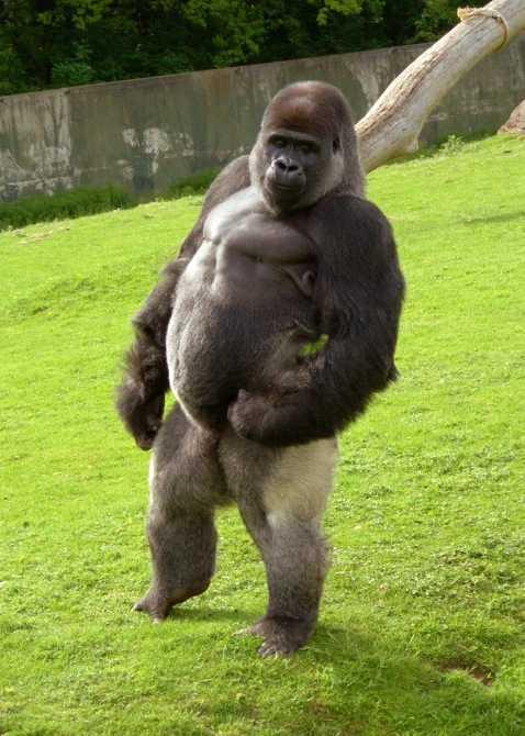 Gorillan Ambam kan gå som en människa.