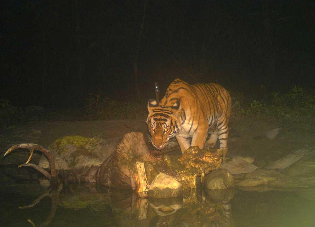 Tiger med fälld sambarhjort i nationalparken Chitwan i Nepal.