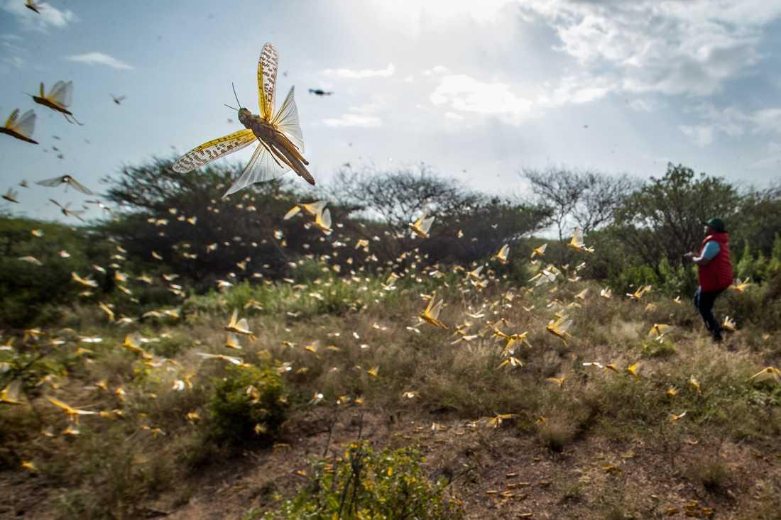 Östafrika upplever just nu den värsta invasionen av gräshoppor på ett kvarts sekel. FN:s livsmedels- och jordbruksorgan FAO ska testa drönare i kampen mot gräshopporna, som ödelägger de marker där de sveper fram. Arkivbild.