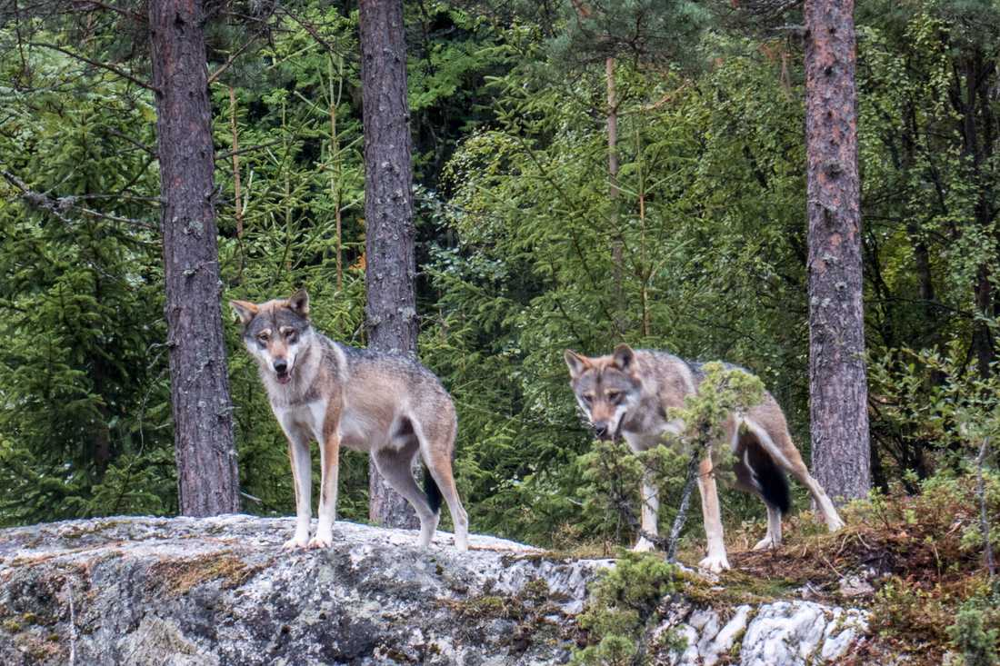 Kolmårdens djurpark planerar att återinföra vargar. Arkivbild.