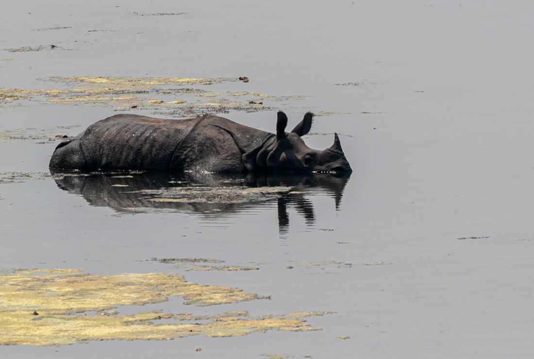 En noshörning i Bardiya National Park i Nepal.