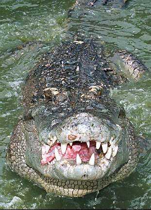 Krokodiler.